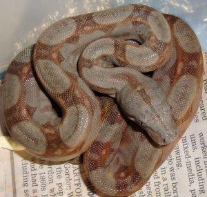 Corn Island – TC Reptile
